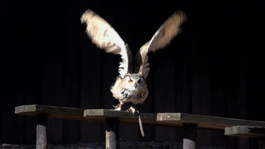 owl launching start. bird. slow motion .animals wildlife.