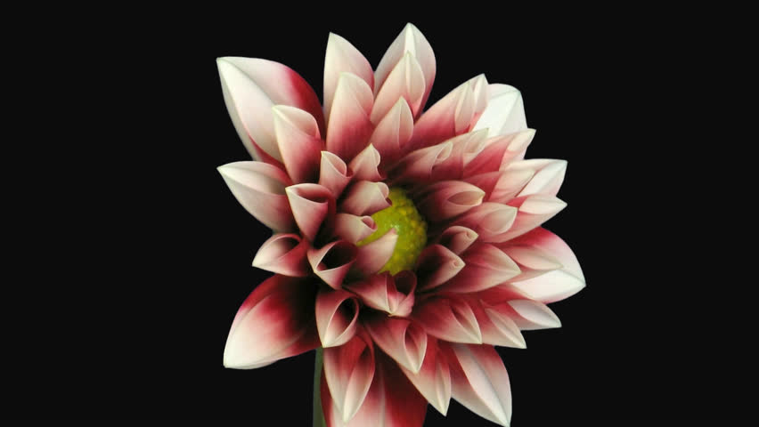 Time-lapse of blooming red dahlia 1d1 in PNG+ format with alpha transparency channel isolated on black background.