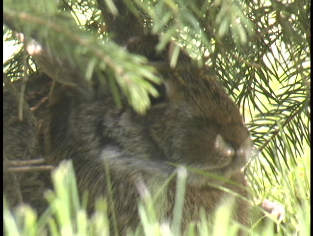 Rabbit Washes Under Tree - SD stock footage clip