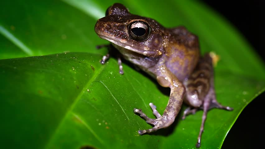 Whitehead's Torrent Frog (Meristogenys whiteheadi) blinks repeatedly at the camera in the jungles of Borneo. Many sounds of the rainforest at night can be heard.