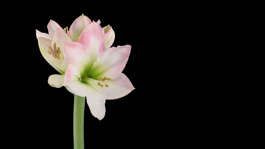 "Time-lapse of opening amaryllis ""Apple Blossom"" Christmas flower 5x1 in PNG+ format with ALPHA transparency channel isolated on black background"