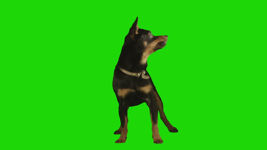 Pack of two. Standing black small dog looks arround and up excited on green screen. Shot with Red camera. Ready to be keyed. Pack of two different videos - HD stock video clip