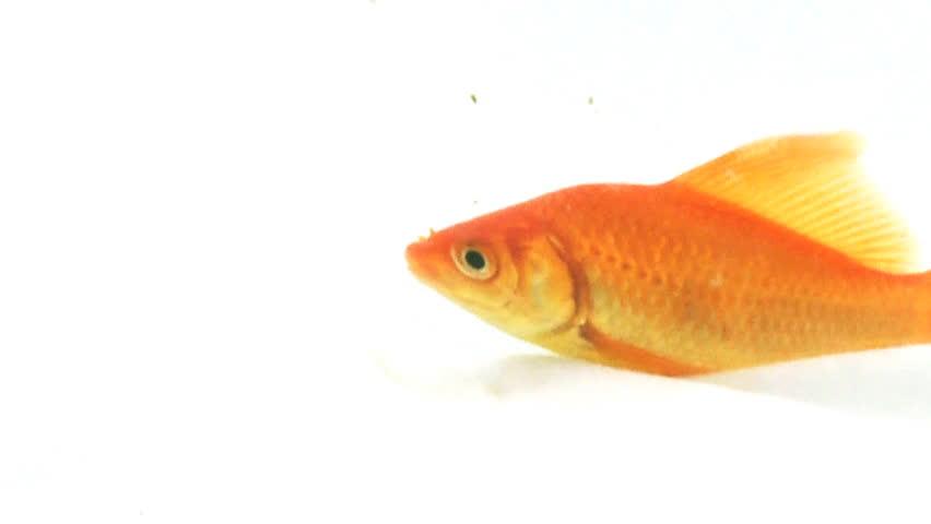 4k hd amazing goldfish - photo #36