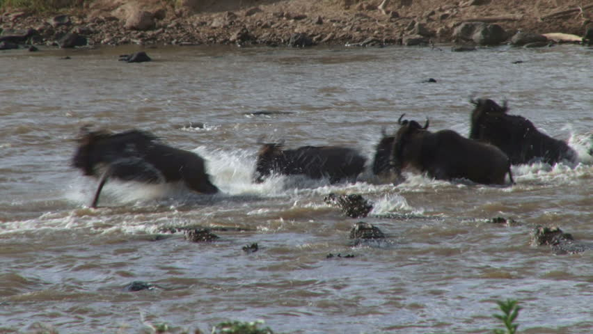 two wildebeests are cought by several crocodiles while crossing mara river.
