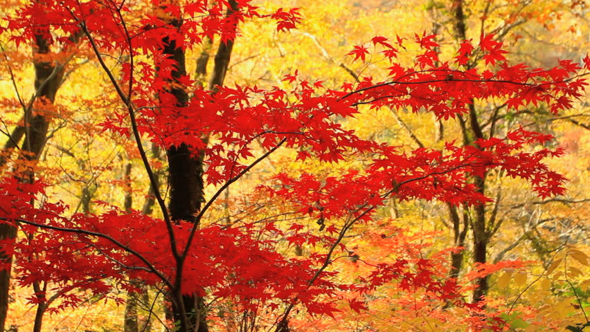 Autumn red maple leaves with yellow foliage in the background.