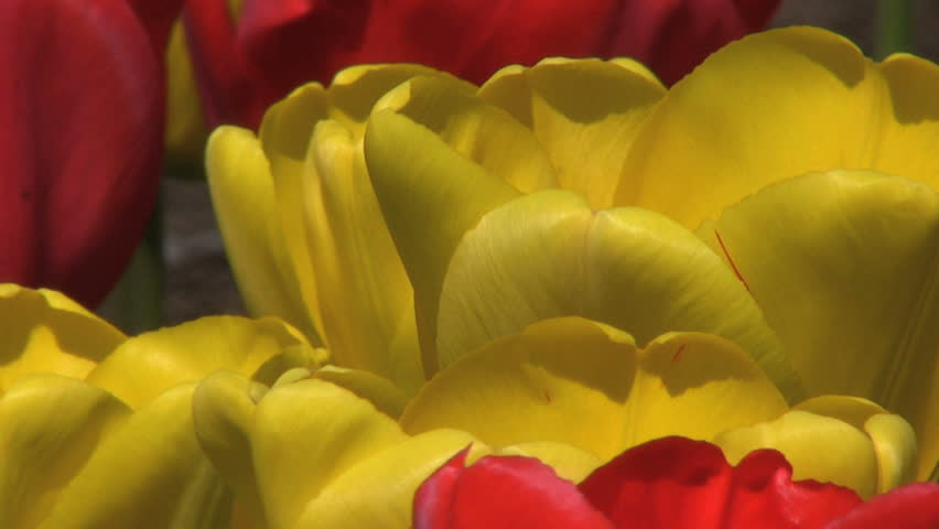 Red And Yellow Tulips Extreme Close Up  - HD stock video clip