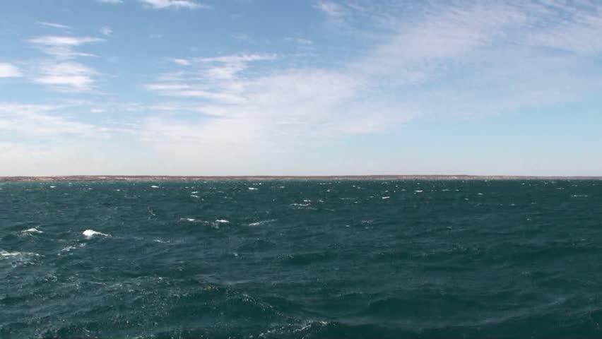 Bottlenose dolphins ride wave (Tursiops truncatus)