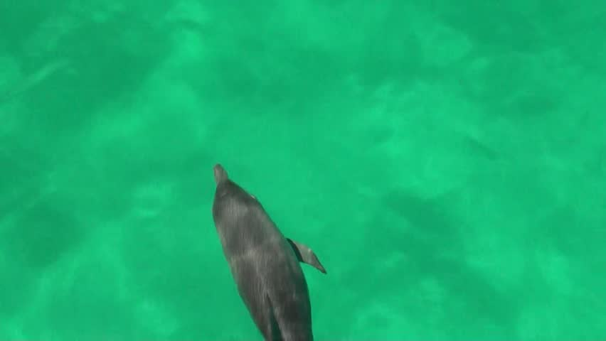 Bottlenose dolphins alone bow rides (Tursiops truncatus)