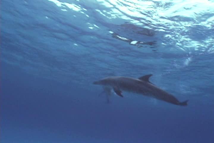 Atrantic spotted dolphin