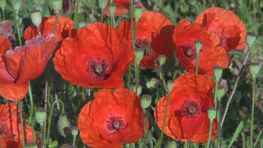 Beautiful bouquet of flower blossom, poppy field in springtime by day on meadow  - HD stock footage clip