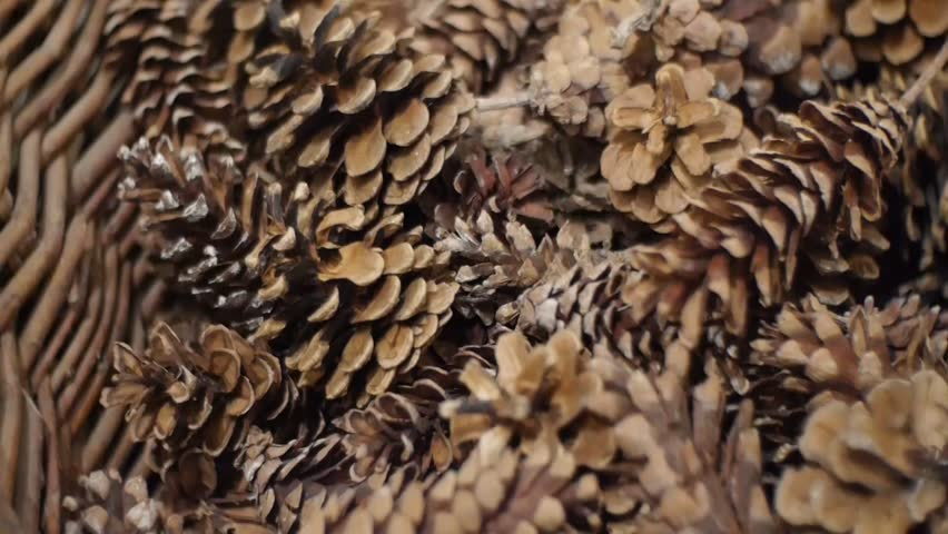 how to open pine cones in microwave