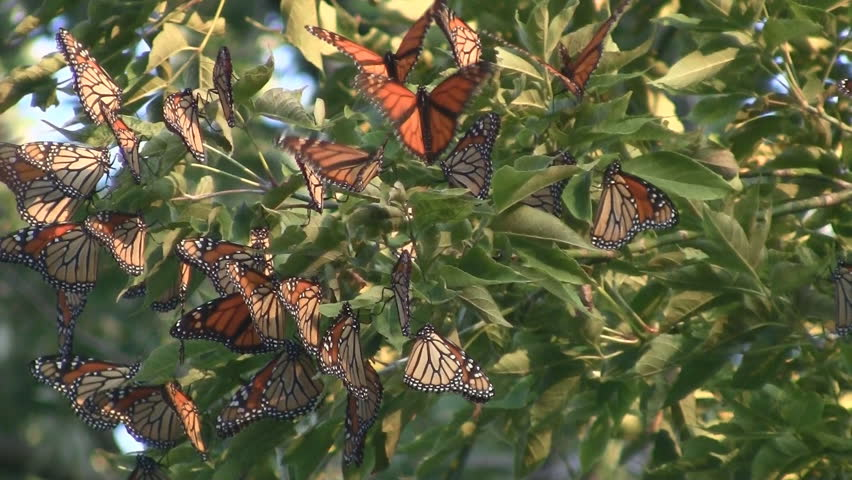 Monarch Butterfly Migration  - HD stock video clip