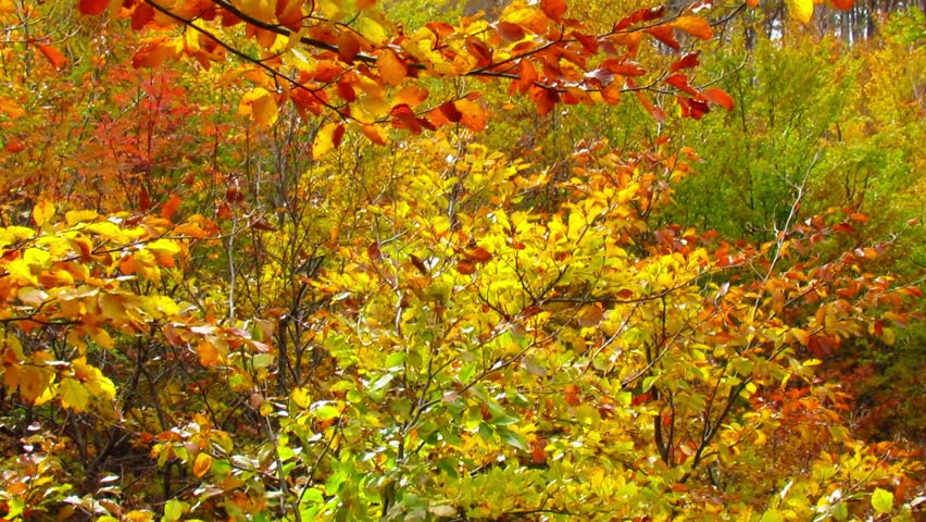 Autumnal leaves colors with wind sapling in beech forest