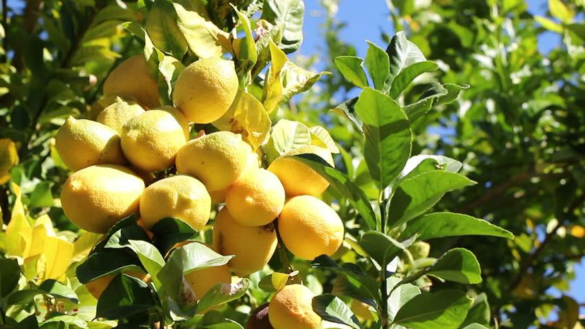 Lemon Tree #2