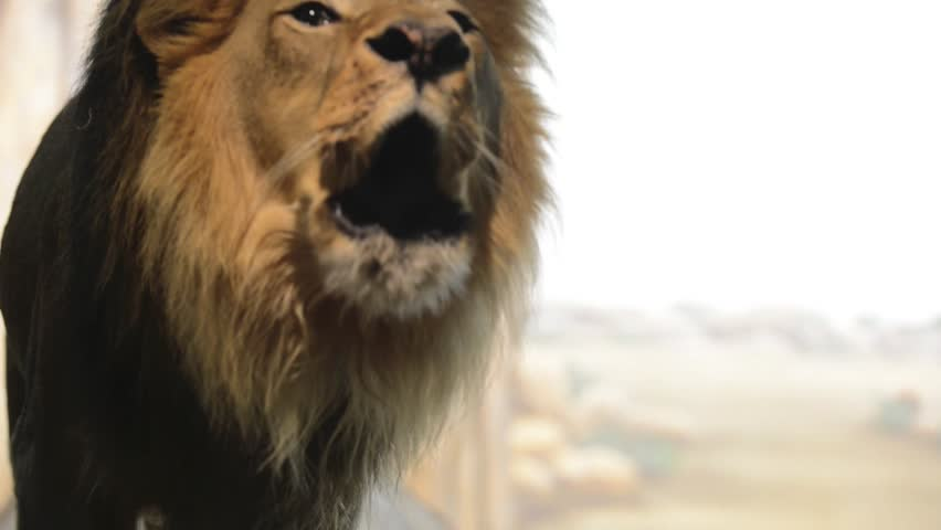 Roaring Lion - HD stock video clip