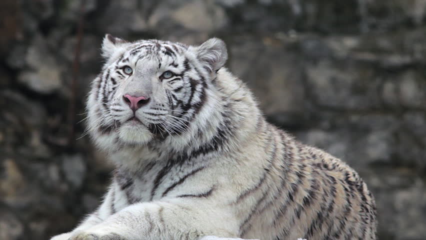 A young bengal tiger male, lying and roaring on cold air. The most beautiful animal and very dangerous beast of the world. Animal portrait of a white tiger.