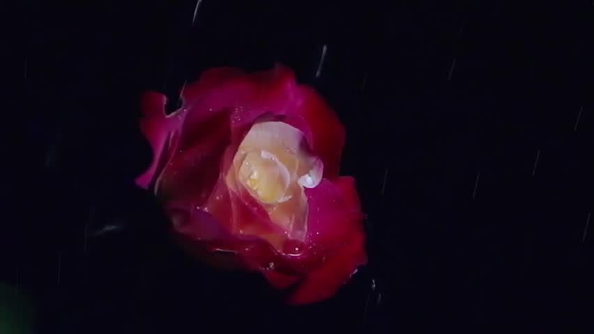 Rose (Double Delight) and Raindrops at Night Slow Motion - HD stock video clip