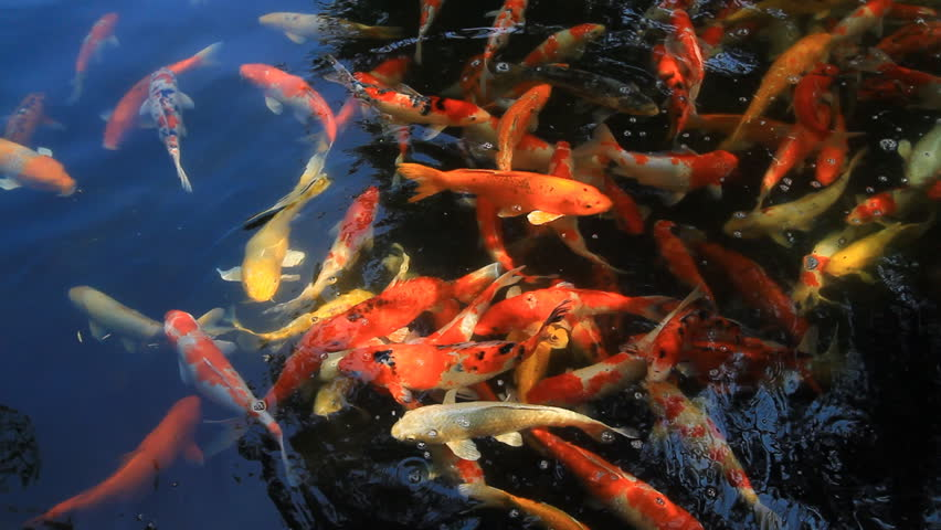 Colorful koi carps in pond stock footage video 5448452 for Koi fish pond hd