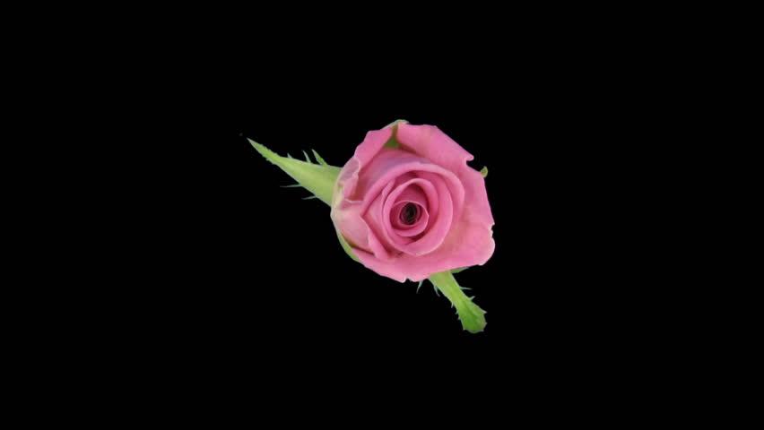"Time-lapse of opening ""Aqua"" rose"