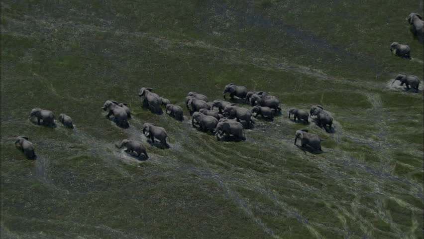 Elephants Marsh Migration Wildlife Marching. A spectacular look at a heard of elephants in the midst of migrating. The large number of elephants march through wet marshlands.