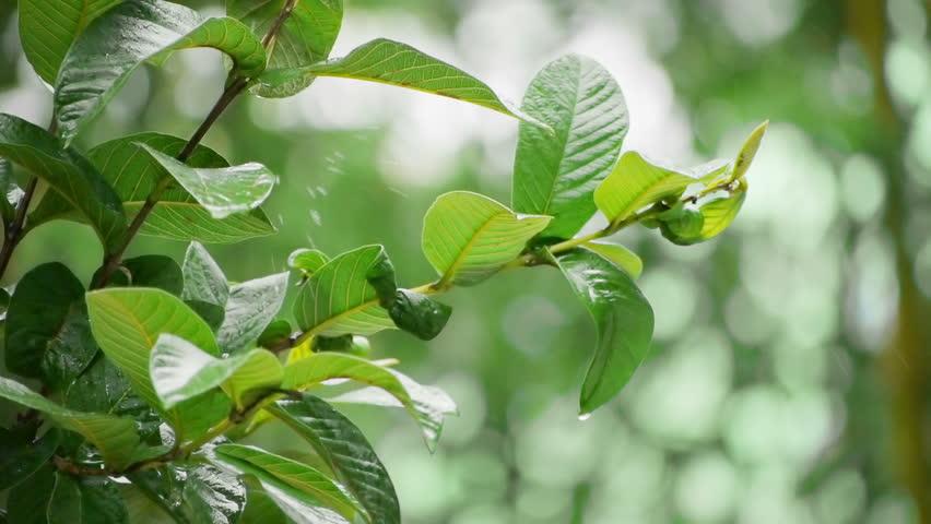 Guava Tree in Heavy Rain with Audio - HD stock video clip