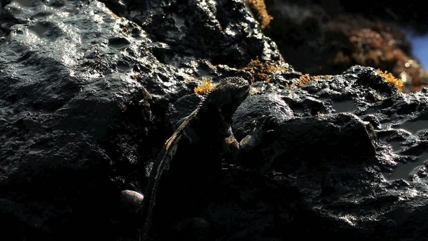 Marine iguana on volcanic rocks covered in saltwater from breaking wave in the Galapagos Islands - HD stock footage clip