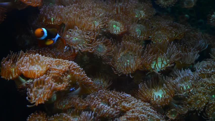 High definition close up of clown fish on anemone hd for Closest fish store