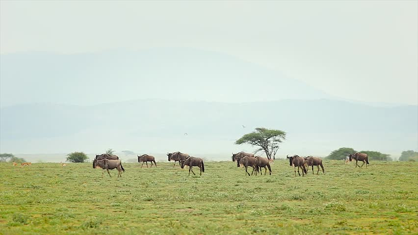 Group of migrating Blue Wildebeest or Gnu in the Serengeti, Tanzania, Africa. The animals usually travel with zebra when migrating, & have made their way south from the Masai Mara to greener pastures. - HD stock video clip