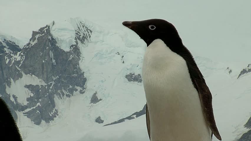 Header of Adelie penguin
