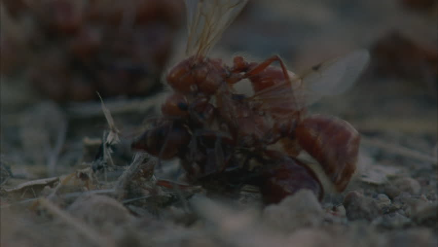 winged ants all piled together to mate with one female. Five males one female. Mass mating