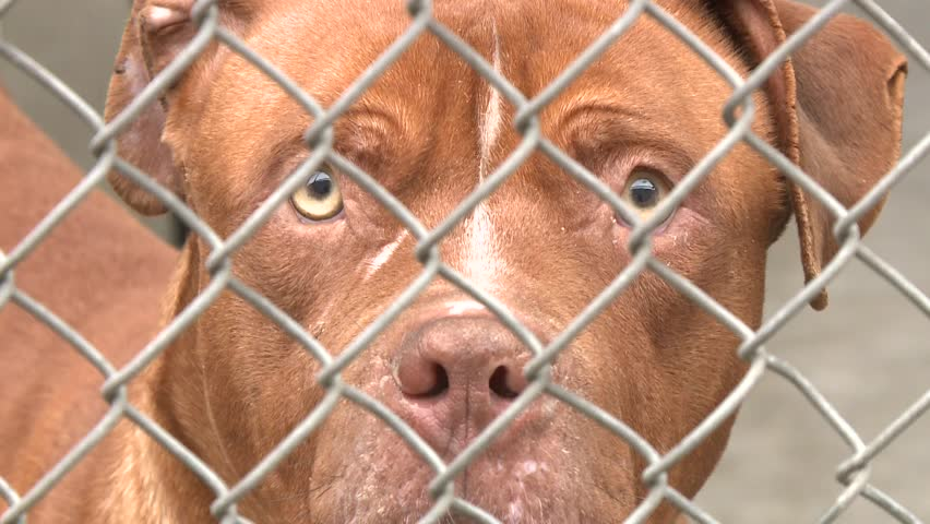 PITBULL PIT BULL DOG PUPPY SAD IN ANIMAL SHELTER HOMELESS BEHIND CHAIN FENCE AT POUND RESCUE FACILITY HD HIGH DEFINITION STOCK VIDEO FOOTAGE CLIP 1080 1920X1080