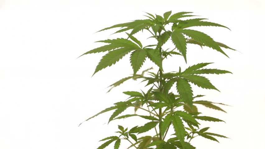Cannabis female plant, Indica dominant hybrid in early flowering stage, moving in wind over white background.