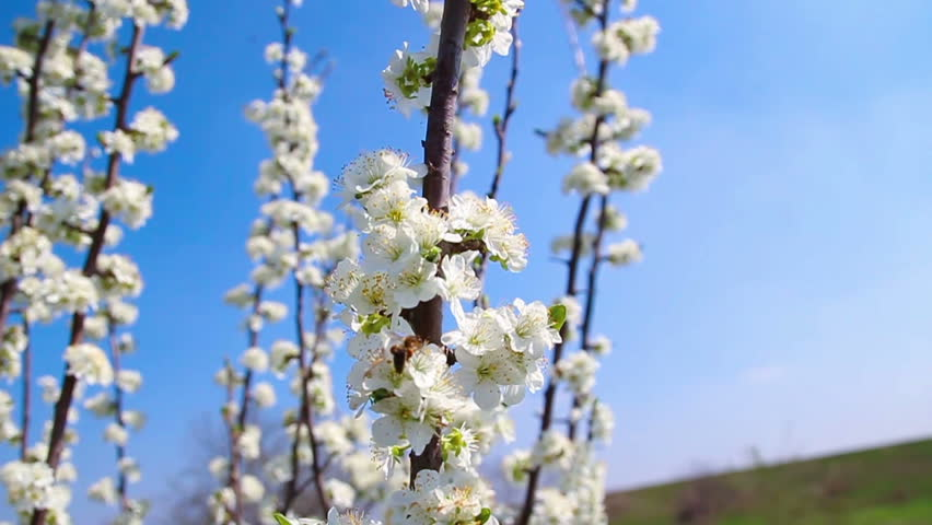 Bee on cherry tree blossoms - HD stock video clip