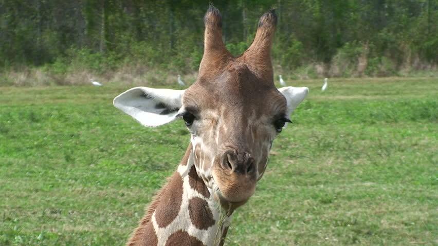 Giraffe Eating - HD stock video clip