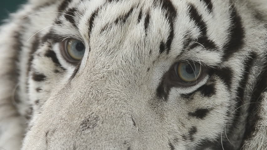 White tiger close up face - photo#26