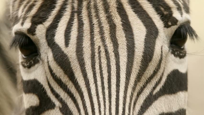 Close up of the zebra looking in the camera.
