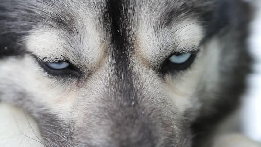 Husky Close up on Blue eyes - 3 clips