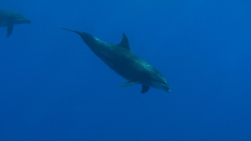 Bottlenose dolphin swimming in the Red Sea  - HD stock video clip