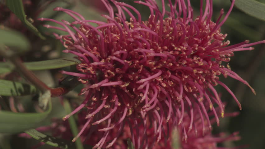 Spiky red flowers blossoming in tall grass stock footage for Spiky ornamental grasses