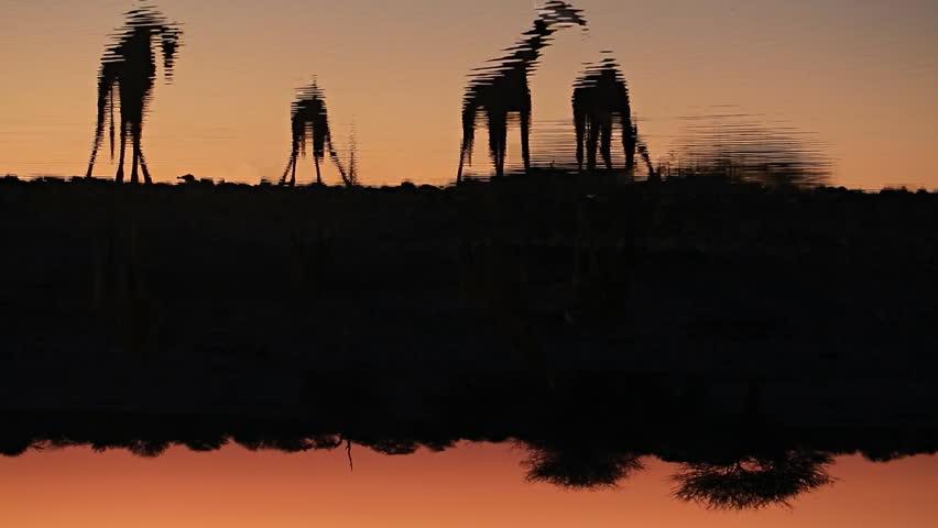Group of Giraffes in waterhole