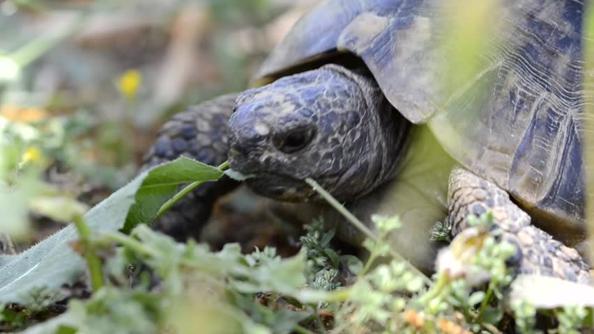greek tortoise testudo graeca feeding stock footage