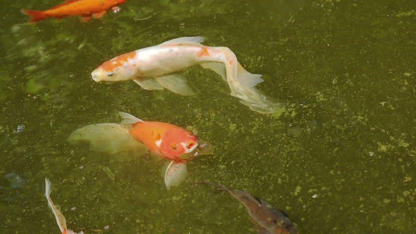 Carp fish of different color in the pond stock footage for Colorful pond fish