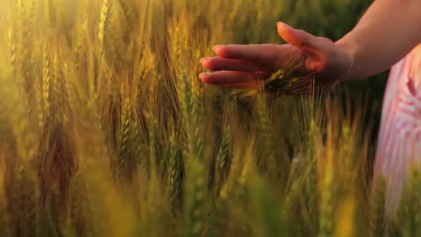 Female Model Hand Caressing Wheat Slow Motion Close Up