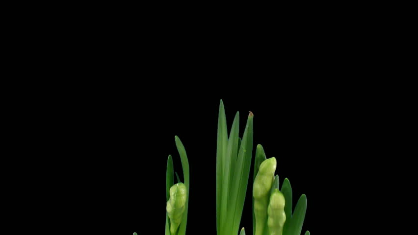 "Time-lapse of growing narcissus ""Erlicheer"" flowers alpha matte 1a  - HD stock footage clip"