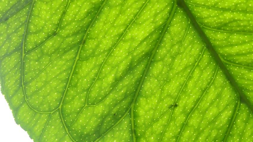 Macro of a lemon leaf - HD stock footage clip