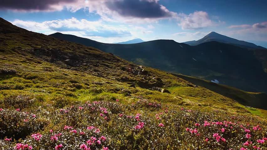Magic pink rhododendron flowers on summer mountain. Carpathian, Ukraine, Europe. Beauty world. HD video (High Definition)