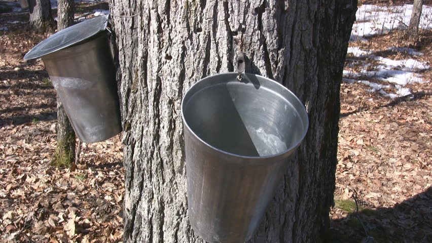 Maple Tree Tapped To Harvest Sap For Maple Syrup Dripping Into A Bucket - HD stock footage clip