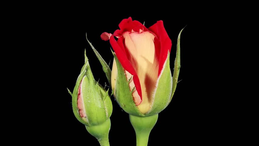Blooming red roses flower buds ALPHA matte, FULL HD. (Rose New Fashion), timelapse  - HD stock video clip