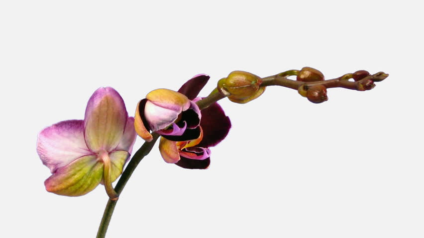 Time-lapse of opening purple orchid 1d isolated on white