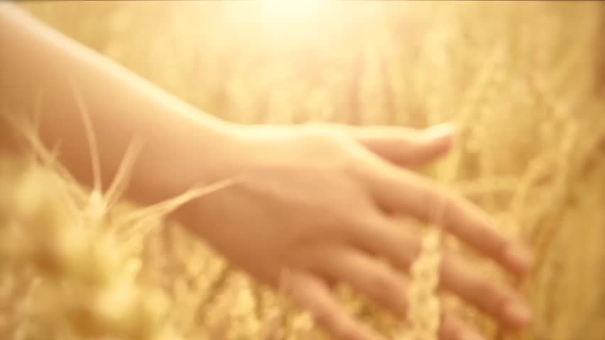 Woman's hand running through wheat field. Girl's hand touching wheat ears closeup.Harvest concept. Harvesting. Slow motion video footage 240 fps. Full HD 1080p - HD stock footage clip